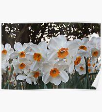 Lush & Alluring Mini Daffodils Poster