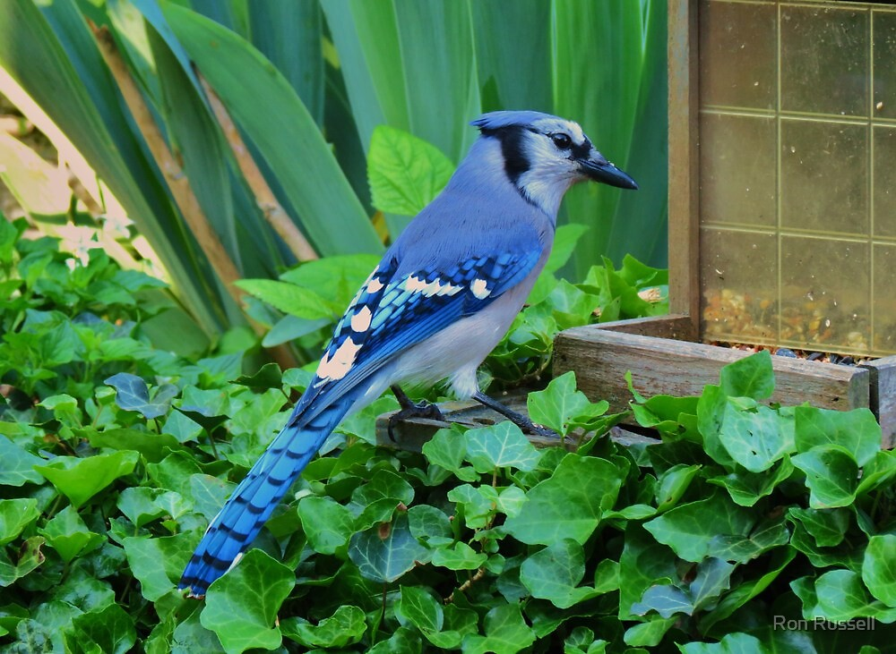 Blue Jay At The Feeder by Ron Russell