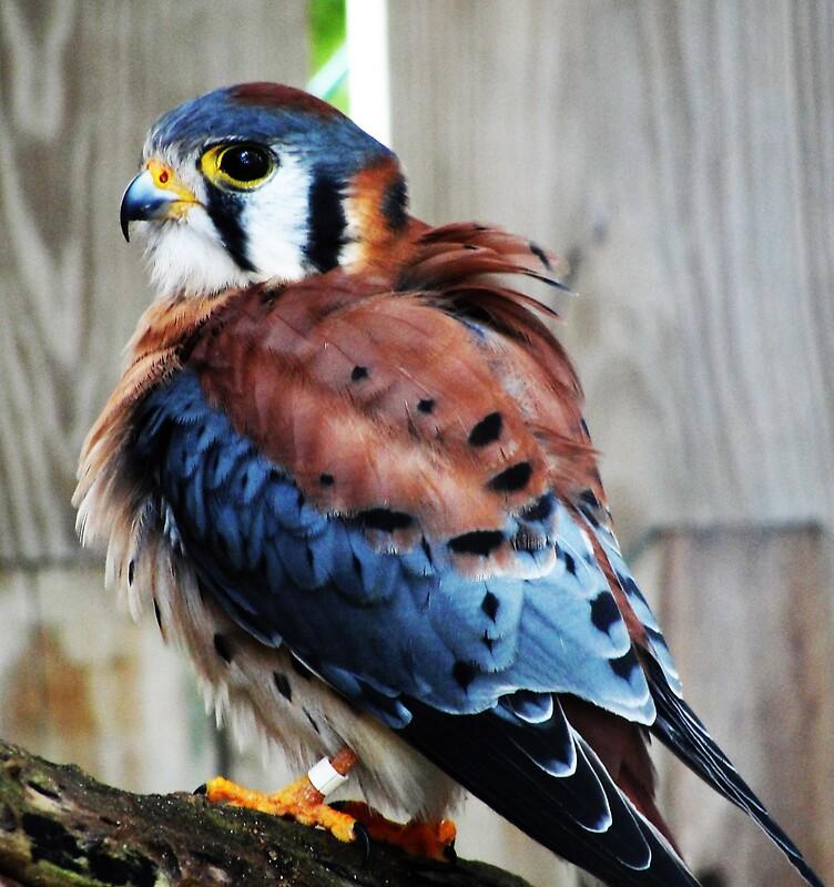 Baby sparrow hawk - photo#52