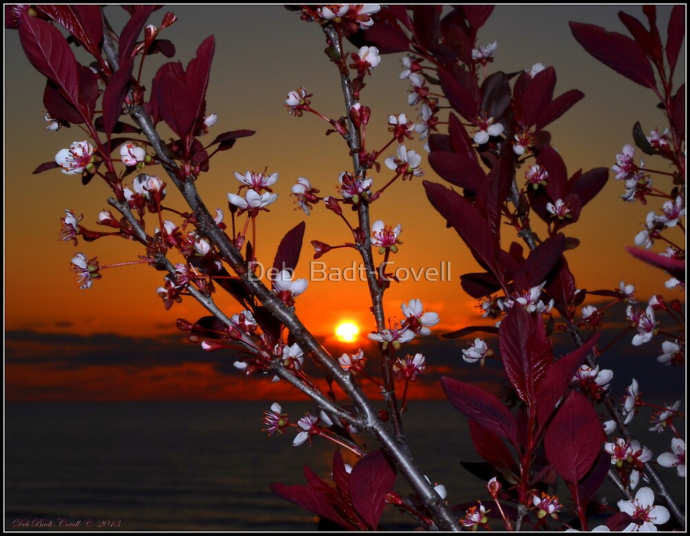 Purple Sand Cherry at Sundown by Deb  Badt-Covell