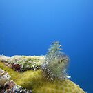 Christmas Tree Worms by diveroptic