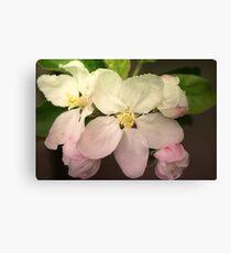 Pink / white Apple Flowers Canvas Print