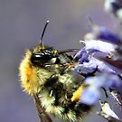 Busy Bee by Russell Couch