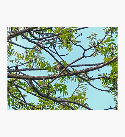 Little Bird in Black Walnut Tree Photographic Print