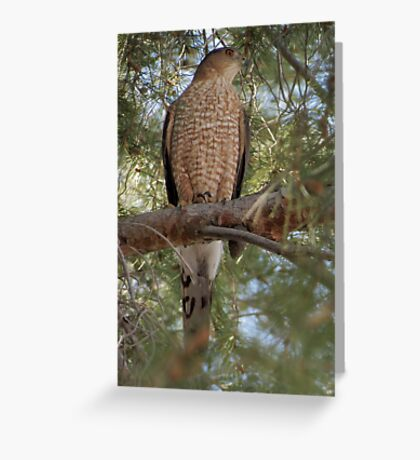 Cooper's Hawk Greeting Card