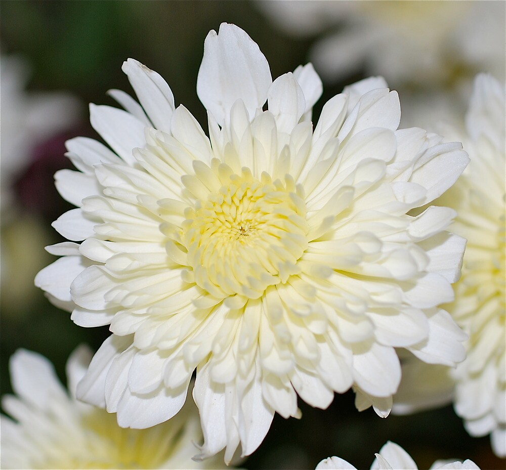 Mother's Day Chrysanthemum # 2 by Penny Smith