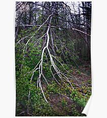 Another View of the Storm Damaged Poplar Poster