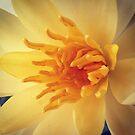 Water lily by JulesVandermaat