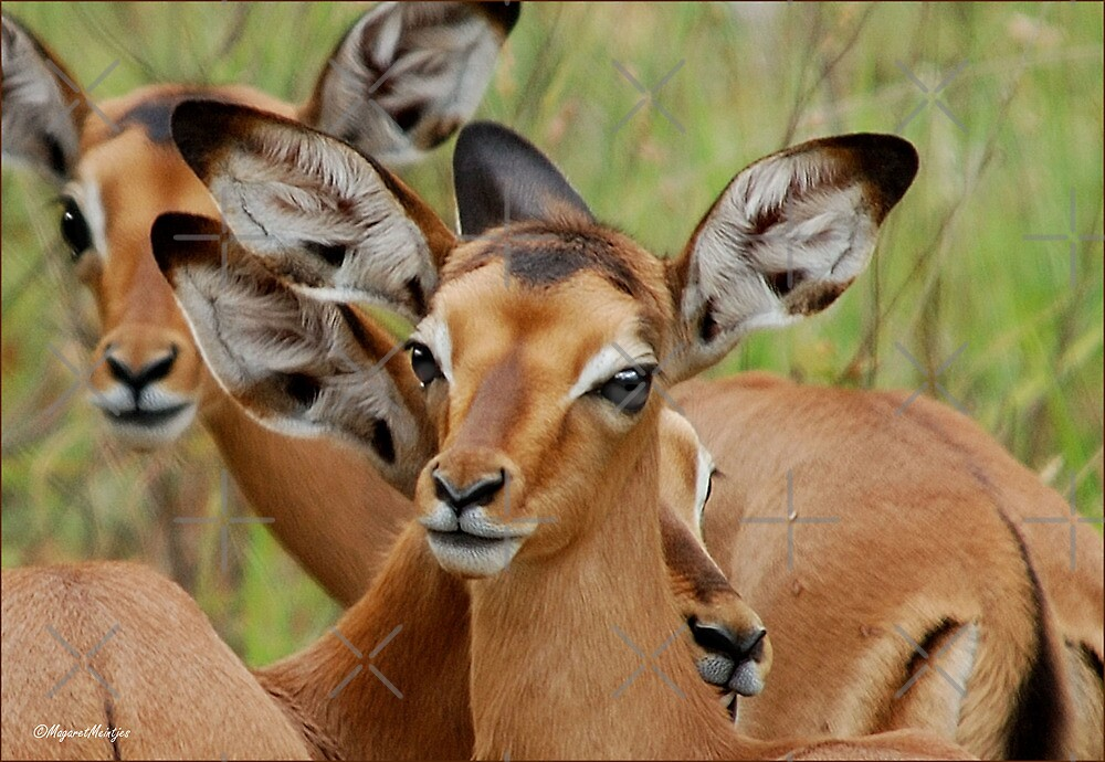THAT INNOCENT LOOK - The baby impala - ROOIBOKLAM by Magriet Meintjes