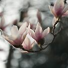 Magnolia flowers by Maxim Mayorov