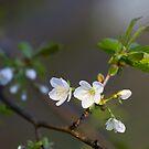 Wild cherry flowers by Maxim Mayorov