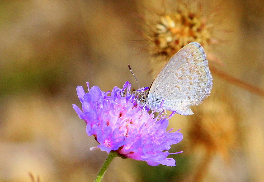 Small Grass Blue by robmac