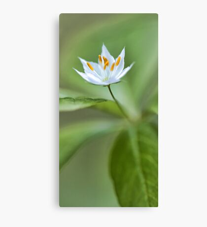 White Starflower - Spring 2013 Canvas Print