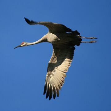 Sandhill Crane Flying by ArtistDCB