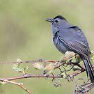 Gray  Catbird by (Tallow) Dave  Van de Laar
