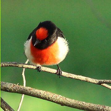 Beautiful red capped male robin, by hartlandangel