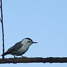 Sweet Little Nuthatch by Barb Miller