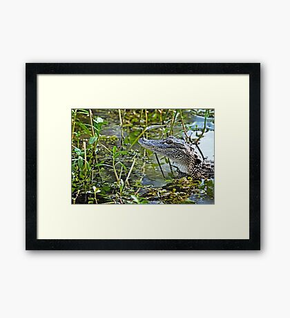 Little Gator Framed Print