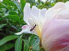 Ant on Peony by FrankieCat