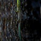 Boab day gecko ( Phelsuma standingi )-  Ifaty Madagascar by john  Lenagan