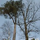 Scots Pine and Oak above Kinlochleven by cuilcreations