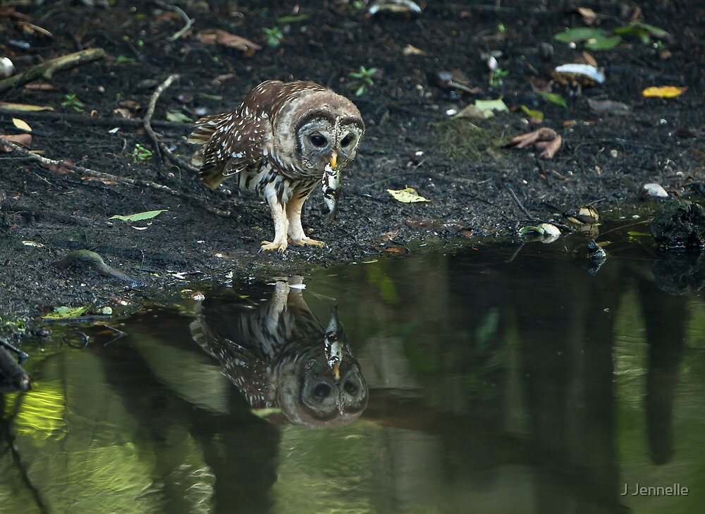 Reflecting Barred Owl With Fish by Joe Jennelle