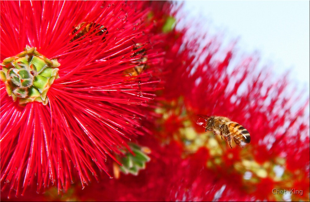 Bees And Bottle Brush by Chet  King