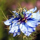 Love in a Mist by Chelsea Brewer