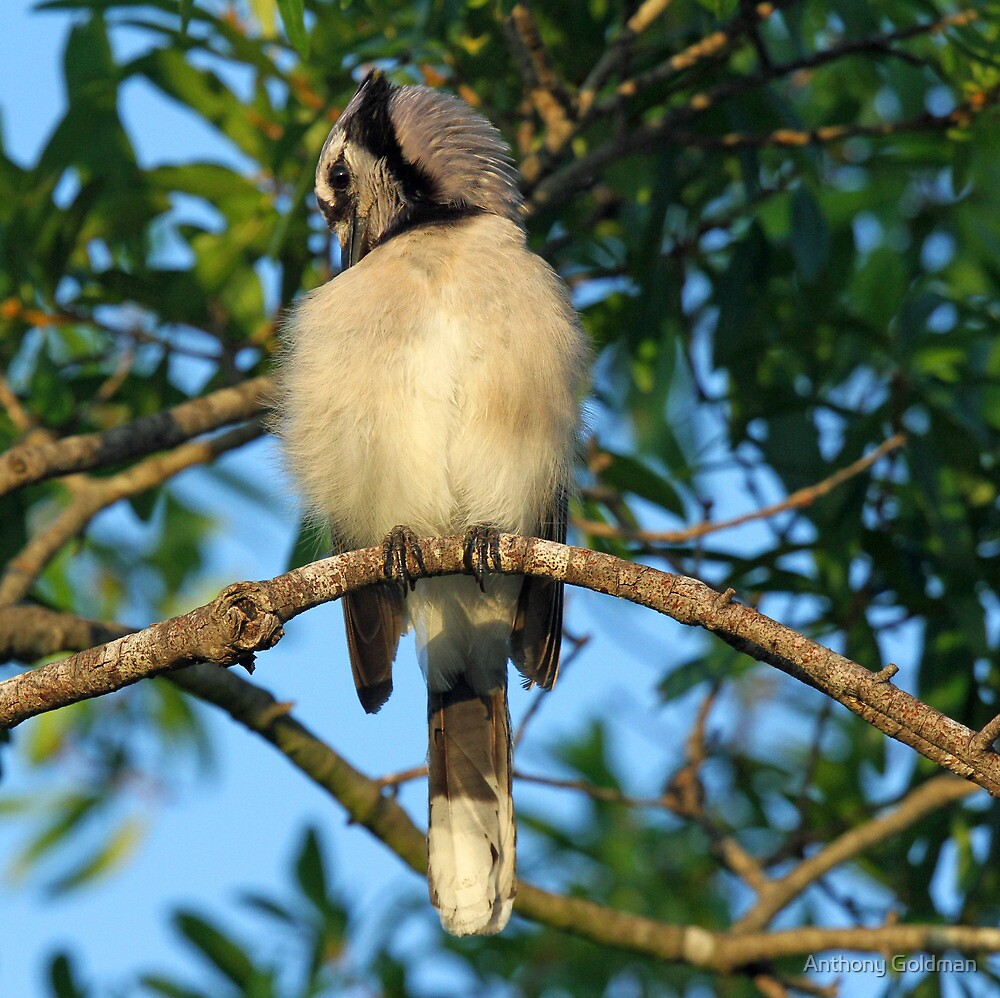 A blue jay in the early morning light  by jozi1
