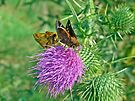 Zabulon Skipper Butterfly - Courting Pair - Poanes zabulon by MotherNature