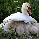 Maternal wings by Javimage