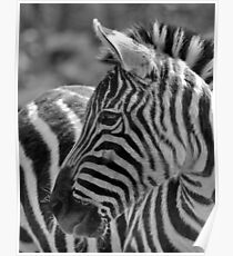 Zebra at Riverbanks Zoo Poster