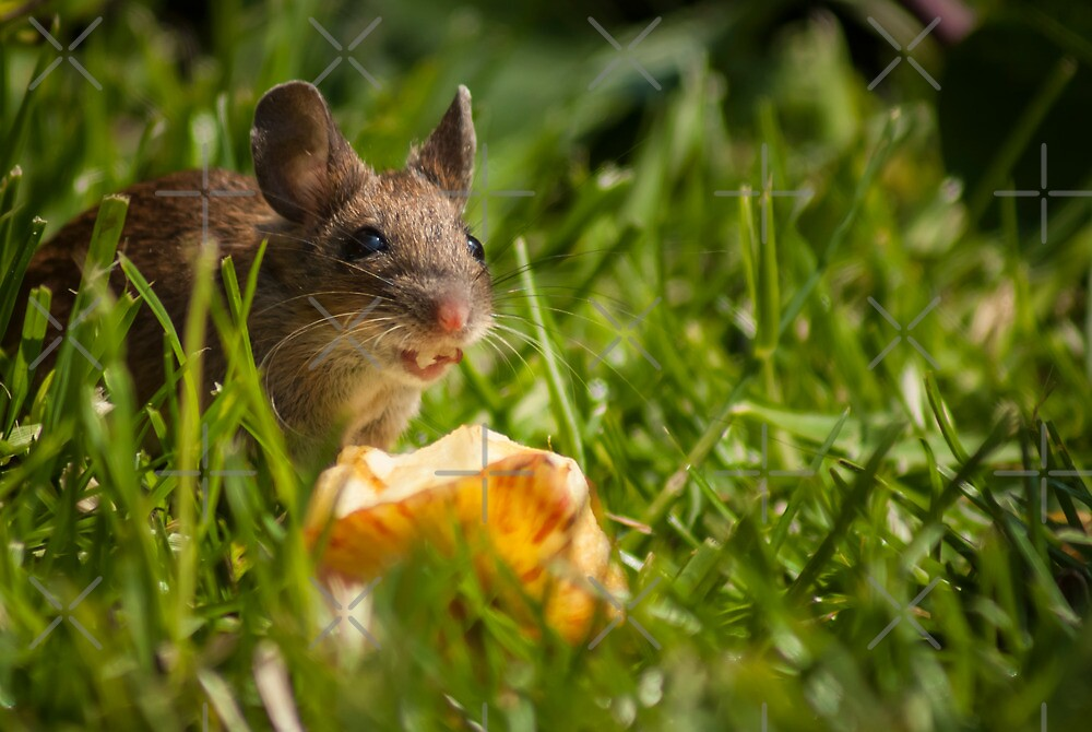Field Mouse Eating an Apple by George Davidson