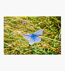 Common Blue Photographic Print