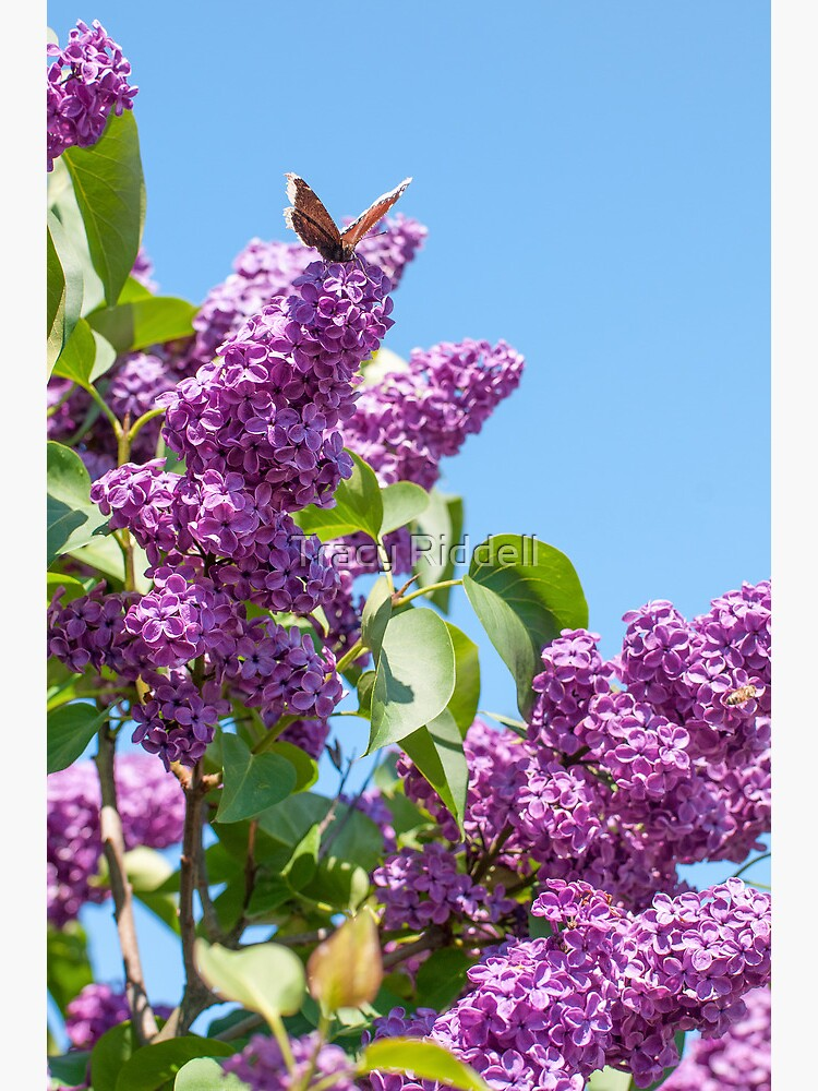 Lilac Bloom and Butterfly by taos