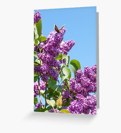 Lilac Bloom and Butterfly Greeting Card