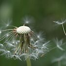 Dandelion. by Hetty Mellink