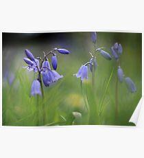 Bluebells at Downton abbey Poster