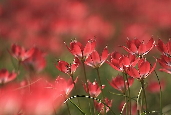 Red heads of tulips at Downton abbey by miradorpictures