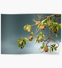 Nesting Weaver Birds Poster