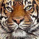 Sumatran Tiger by Jim Stiles