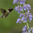 Hummingbird by smalletphotos