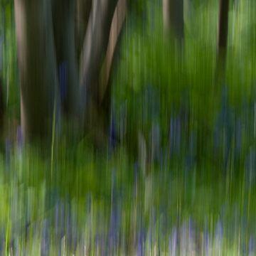 Impressionist Bluebell Wood  by cherryannette