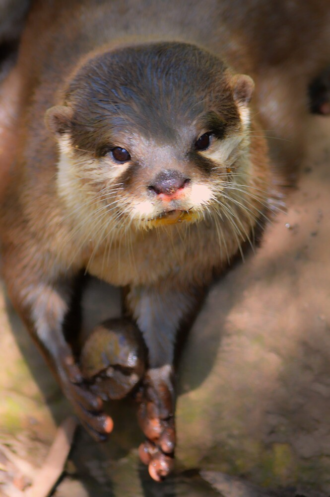Cross Eyed Otter by DavidWHughes