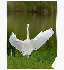 The Great Egret 2 Poster