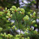 The many shades of evergreens by Rainydayphotos