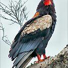 BATELEUR EAGLE - Terathopius ecaudatus - Berghaan von Magriet Meintjes