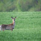 Deer in Grass by (Tallow) Dave  Van de Laar