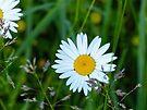 Daisy by FrankieCat