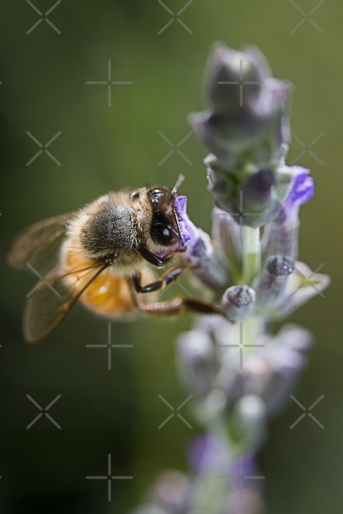 Bee on English Lavender by Sandra Chung